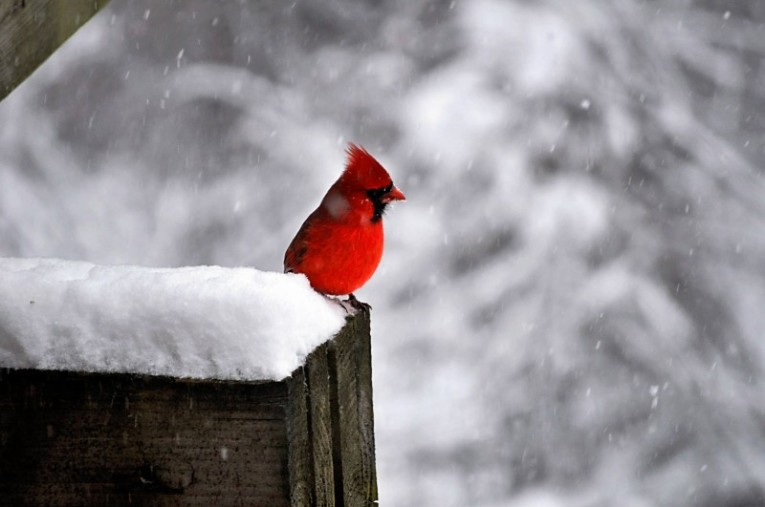 Cardinal on a winter fence in the Upper Valley